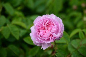 Kännetecknande för Rosa centifolia är mängden kronblad. Den kallas också Provenceros och används flitigt i fransk parfymtillverkning.<br /> Foto: Pascal Cottel
